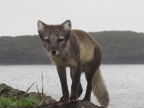 jpg Rabies endures with help of the arctic fox