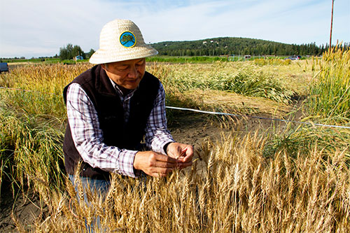 jpg Researchers continue quest for Northern spring wheat variety