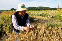 Researchers continue quest for Northern spring wheat variety