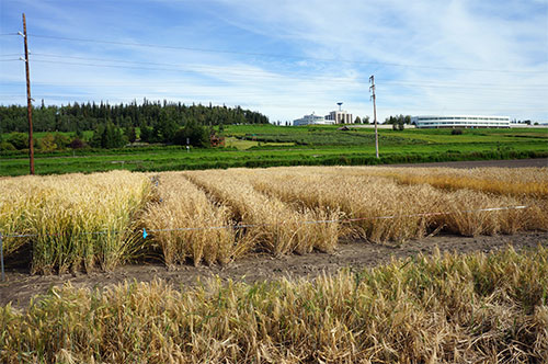 jpg A test plot of spring wheat varieties at the Fairbanks Experiment Farm in 2016.