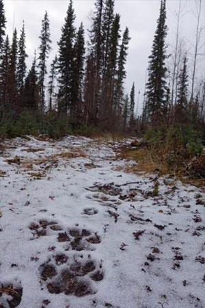 jpg Wolves a defining part of Alaska landscape