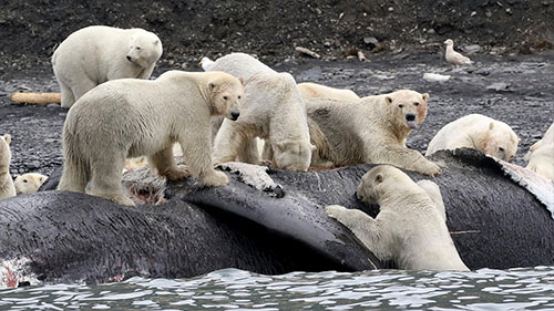 jpg Polar bears gorged on whales to survive past warm periods; won't suffice as climate warms