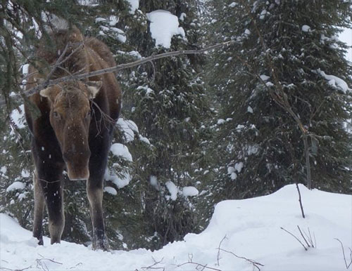 Three Millions Pounds of Frozen Moose