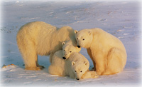 Final Designation of Polar Bear Critical Habitat Announced