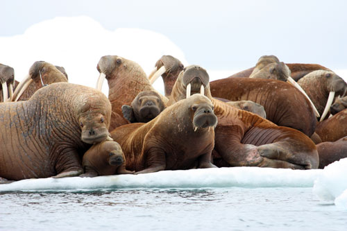jpg Study Tracks Pacific Walrus, Observes Effects  of Arctic Sea Ice Loss on Behavior