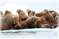 Study Tracks Pacific Walrus, Observes Effects of Arctic Sea Ice Loss on Behavior