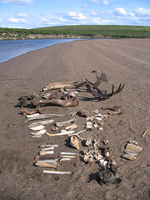 jpg The moose antlers pictured date to 12,000 years ago.