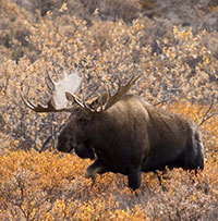 Shrubs on warming North Slope attract moose, hares