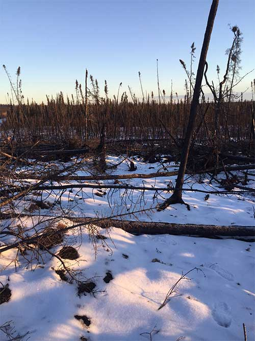 jgp Wildfire-killed trees, such as these near Nulato in western Interior Alaska, block trails when they fall, a climate change-related challenge for trappers.