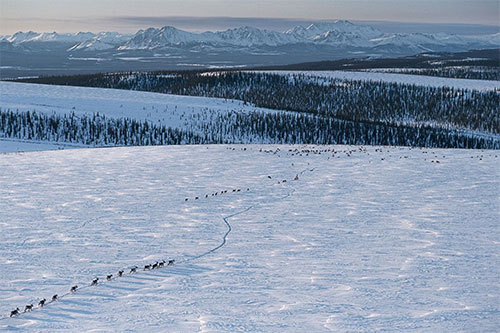 jpg The Porcupine caribou herd returns to the Arctic Refuge during their annual migration. The refuge coastal plain is important to calving success and calf survival; there are fewer predators there than in the nearby foothills and mountains, as well as abundant plants for hungry new mother