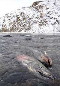 Salmon complete 1,000-mile journey, and life