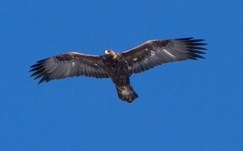 jpg Weather reroutes golden eagle migration in Alaska