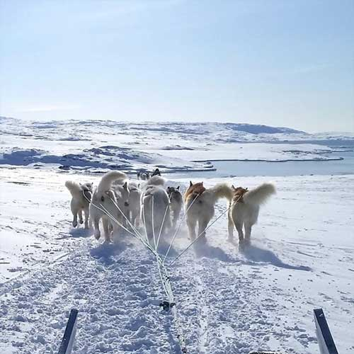 jpg Unique sled dogs helped the inuit thrive in the North American Arctic