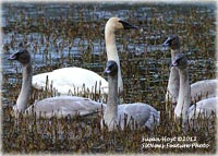 Death of Trumpter Swans Under Investigation