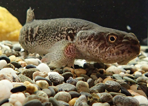 jpg Alaska blackfish in a world of its own