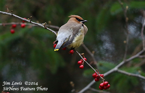 jpg This Cedar Waxwing photographed in Ketchikan on December 14, 2014.