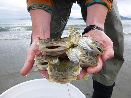 jpg Glacier meltwater into Southeast Alaska estuaries influences fish diets