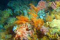 laska's Secret Gardens: Aleutian Island Coral Gardens Hold Secrets - Some That May Save Lives