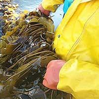 Alaska Shellfish Growers Learn about Seaweed Farming