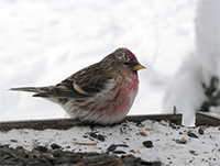 Alaska's birds have amazing set of winter survival tricks