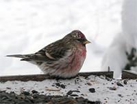 Alaska's birds have amazing set of winter survival tricks
