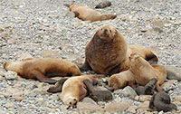 Endangered Steller sea lions continue to decline in 2016 in the western Aleutians
