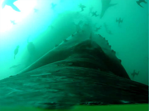 Whales use stealth to feed on fish