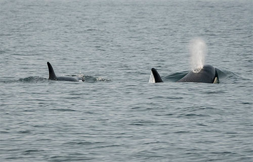 jpg Southern resident killer whale J50 follows her mother, J16, in the Salish Sea