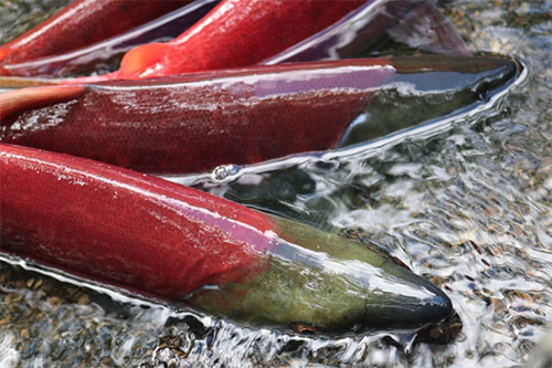 jpg Spawning sockeye salmon in Bristol Bay.