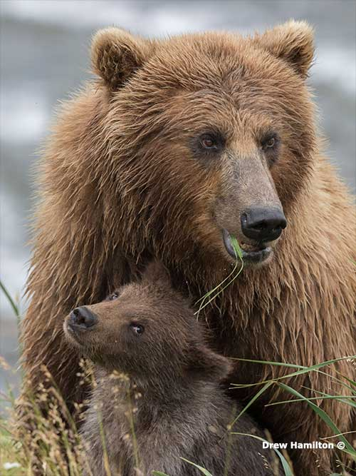 The Bears of McNeil and the Pebble Mine Project