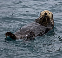 Planes aren't the only kind of 'otters' that have flown in Southeast; Local pilots helped transplant Aleutian otters in late 1960s