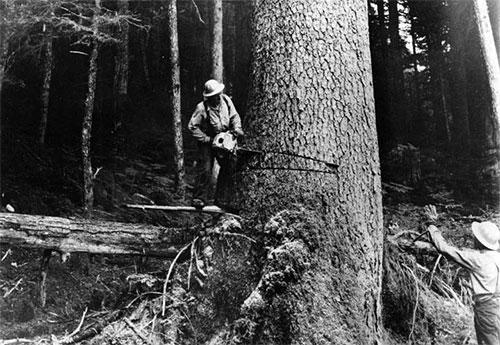 jpg Loggers, harvesting a large tree. Southeast Alaska.