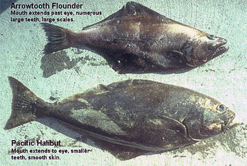 jpg Stomachs Could Solve Mystery of Smaller Alaska Halibut