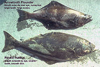 Stomachs Could Solve Mystery of Smaller Alaska Halibut