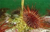 Southeast Alaska Urchin Harvest Down
