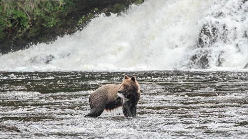 jpg Southeast bear snacks on salmon.
