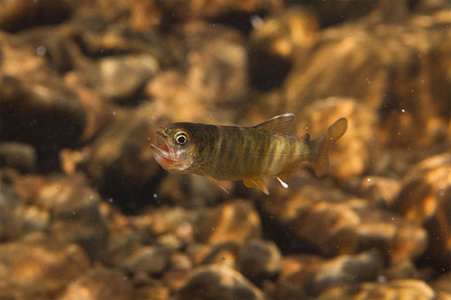 jpg An age-zero coho struggles to swallow a sockeye egg. In warmer streams, juvenile coho are more likely to grow large enough to exploit food subsidies from sockeye salmon.  Photo by Jonny Armstrong.