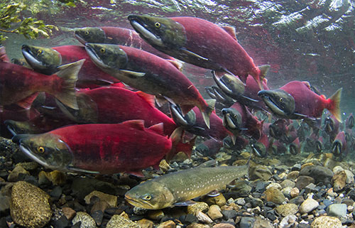 jpg A char moves into Sam Creek along with hundreds of sockeye salmon. The char is skinny now, but will get fat gorging on salmon eggs.  Photo by Jonny Armstrong.