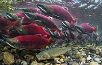 The impossible journey of the juvenile coho; Study shows river systems behave like financial
