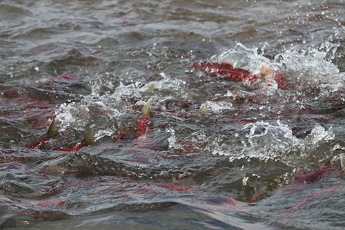 jpg Sockeye salmon school up at the mouth of Uno Creek off Beverley Lake in the Bristol Bay watershed