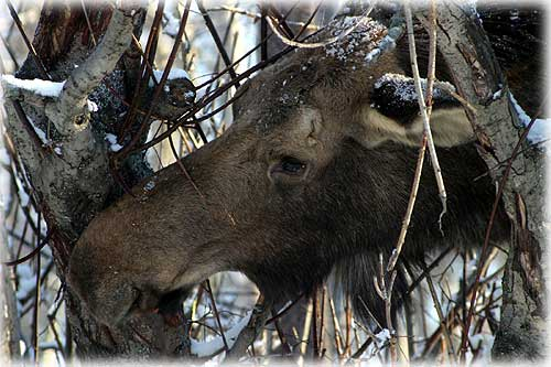 Front page photo - Moose by Carl Thompson©