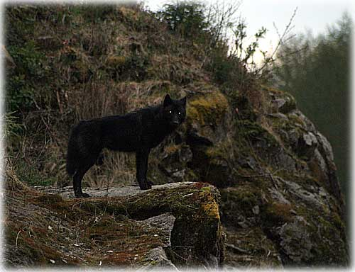 Front Page Photo - Wolf by Carl Thompson