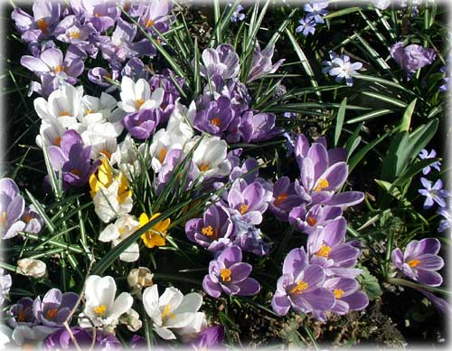 Front Page Photo - Crocus Flowers by Dick Kauffman©2004